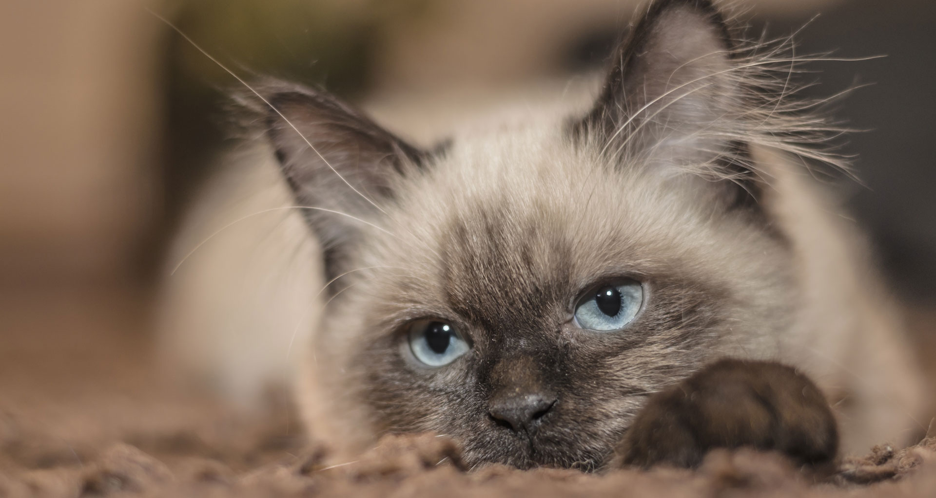 A cat sitting down. They have blue eyes