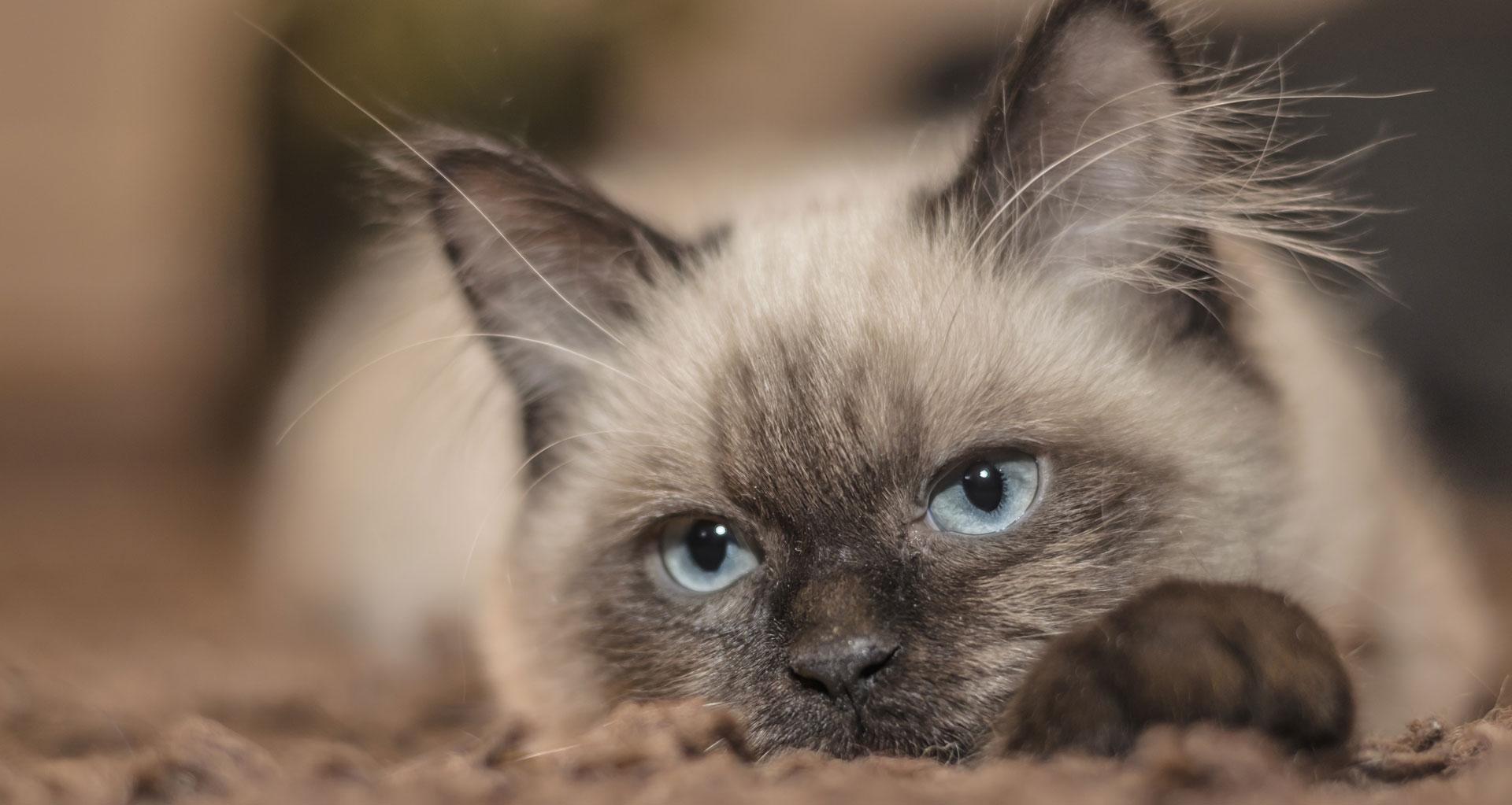 Cute furry cat