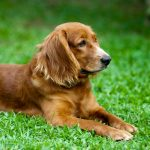 Solo walking Dog lying on the green grass