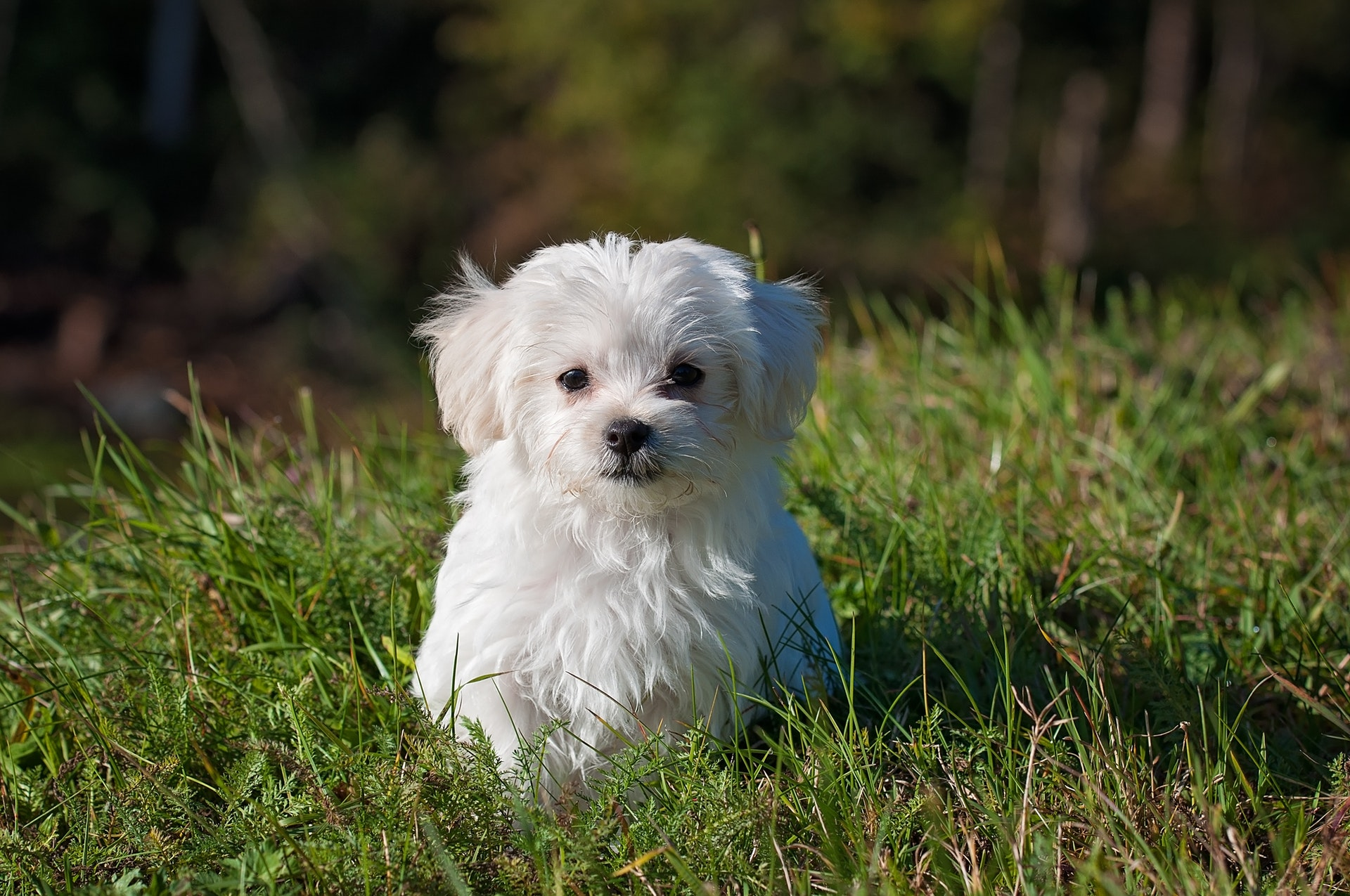 A maltese puppy sits in the garden