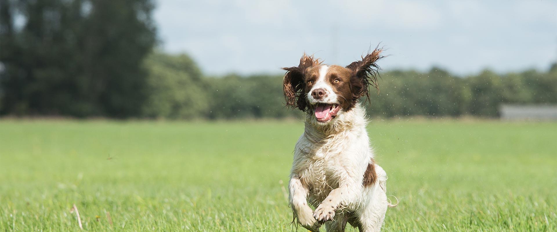 Solo dog walking St Albans - Golden Retreiver