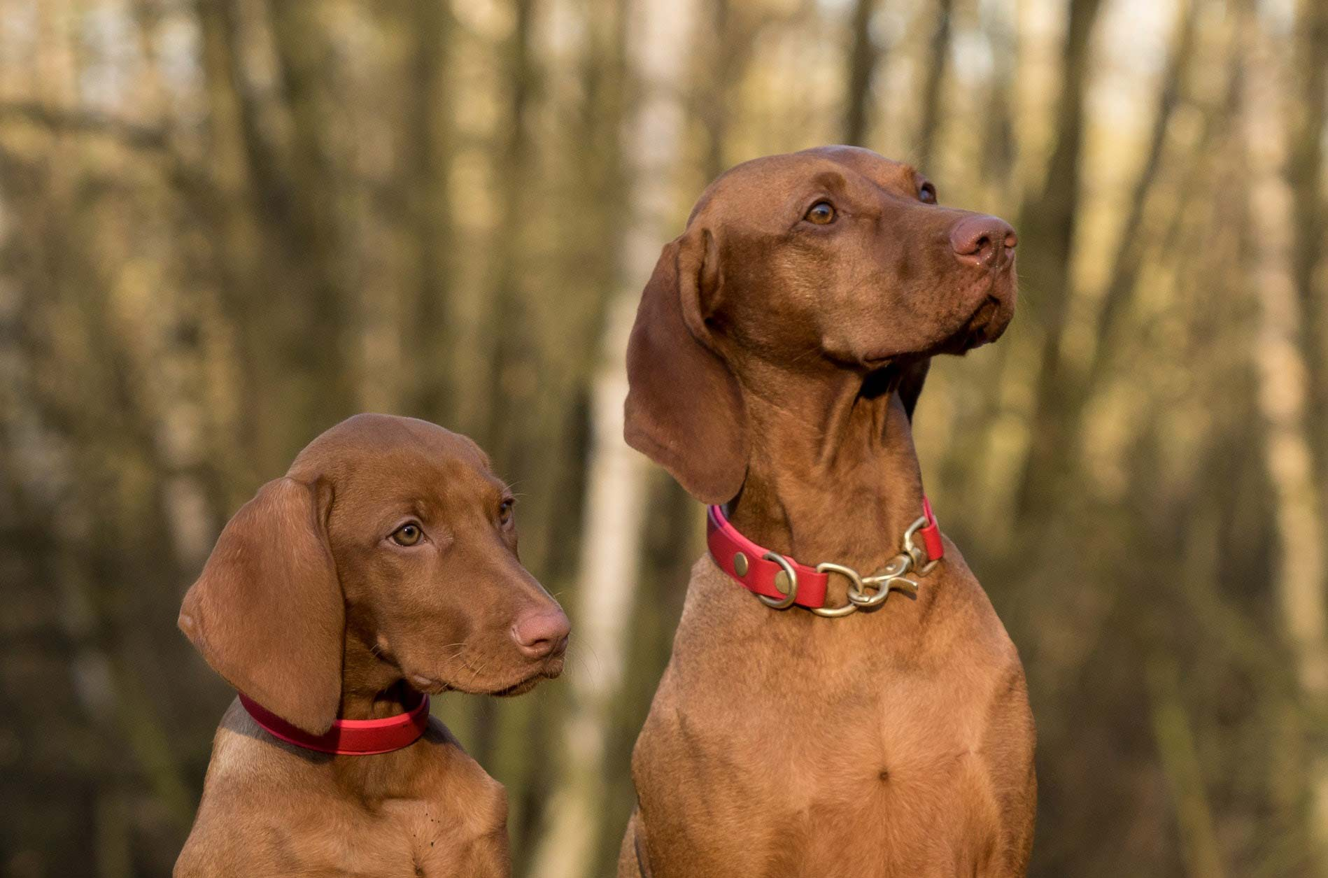 Two brown dogs sitting nicely