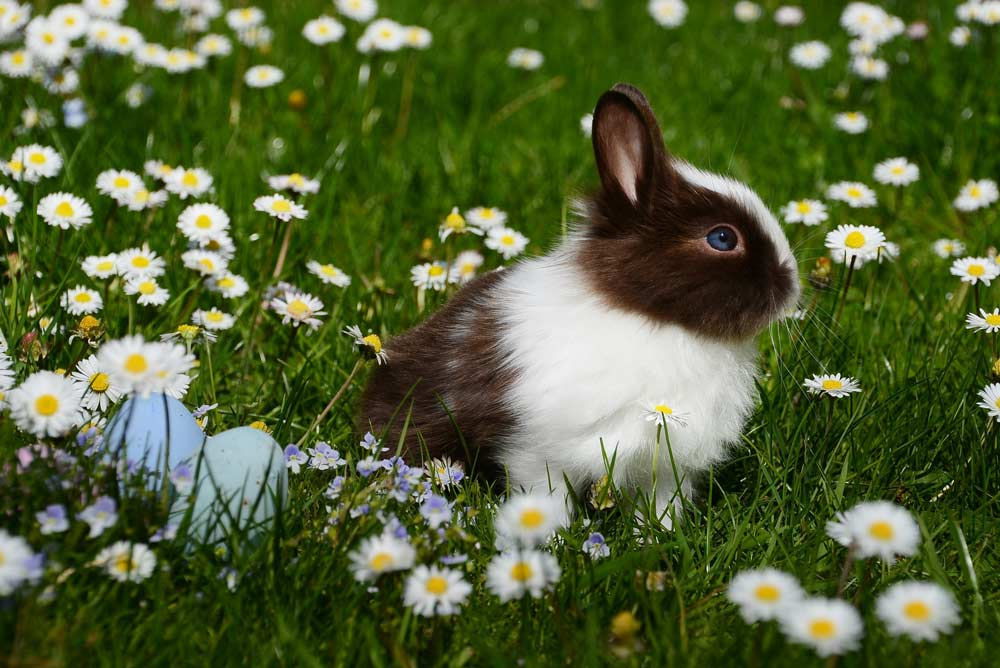 Rabbit care - Rabbit sitting in a field with daisys