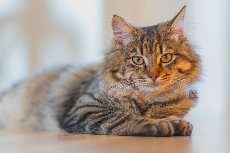 A fluffy cat sits on the floor during cat sitting