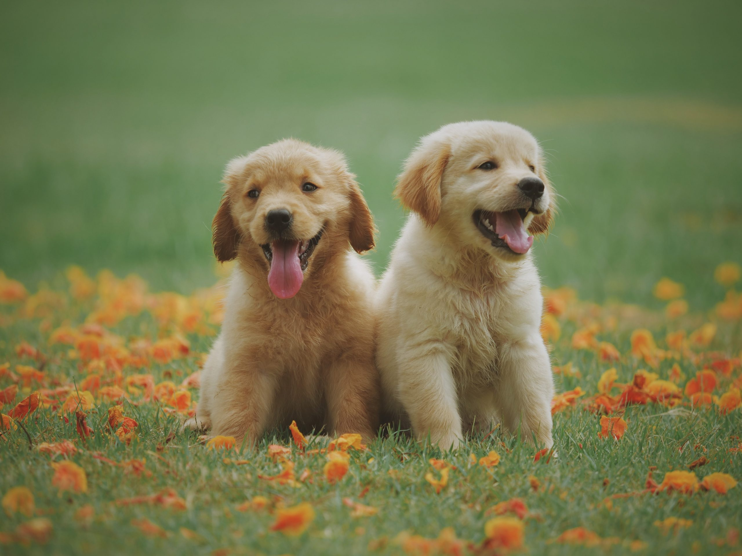 2 yellow puppies sitting in the grass with orange flowers