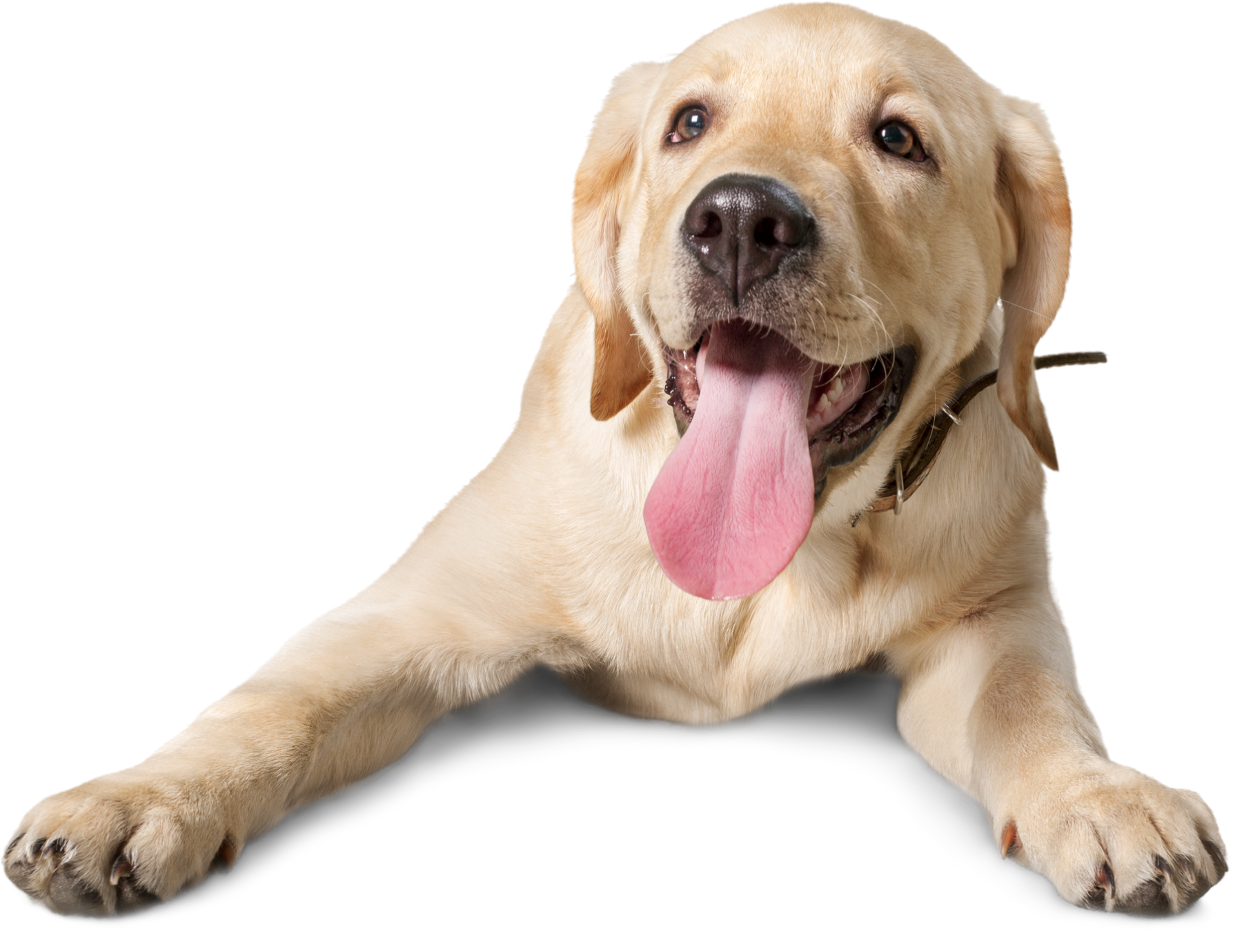 Labrador with his tongue lolling out