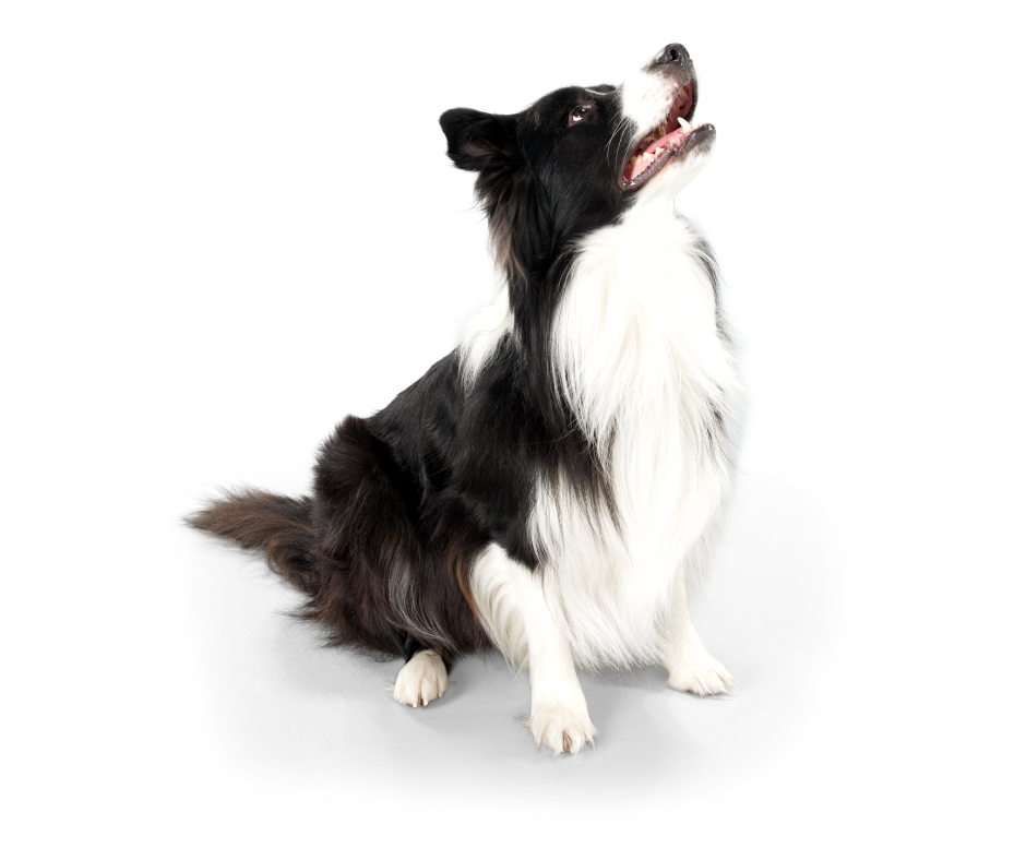 A collie looks up during pet sitting