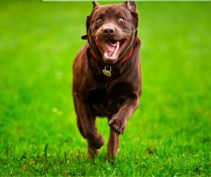 Brown labrador running through the grass