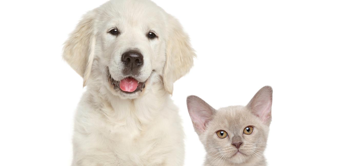 Sitting pets - golden retriever puppy and a grey kitten